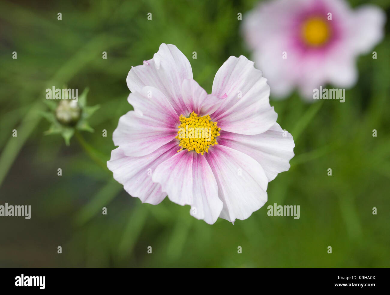 Cosmos 'Daydream' flowers. - Stock Image