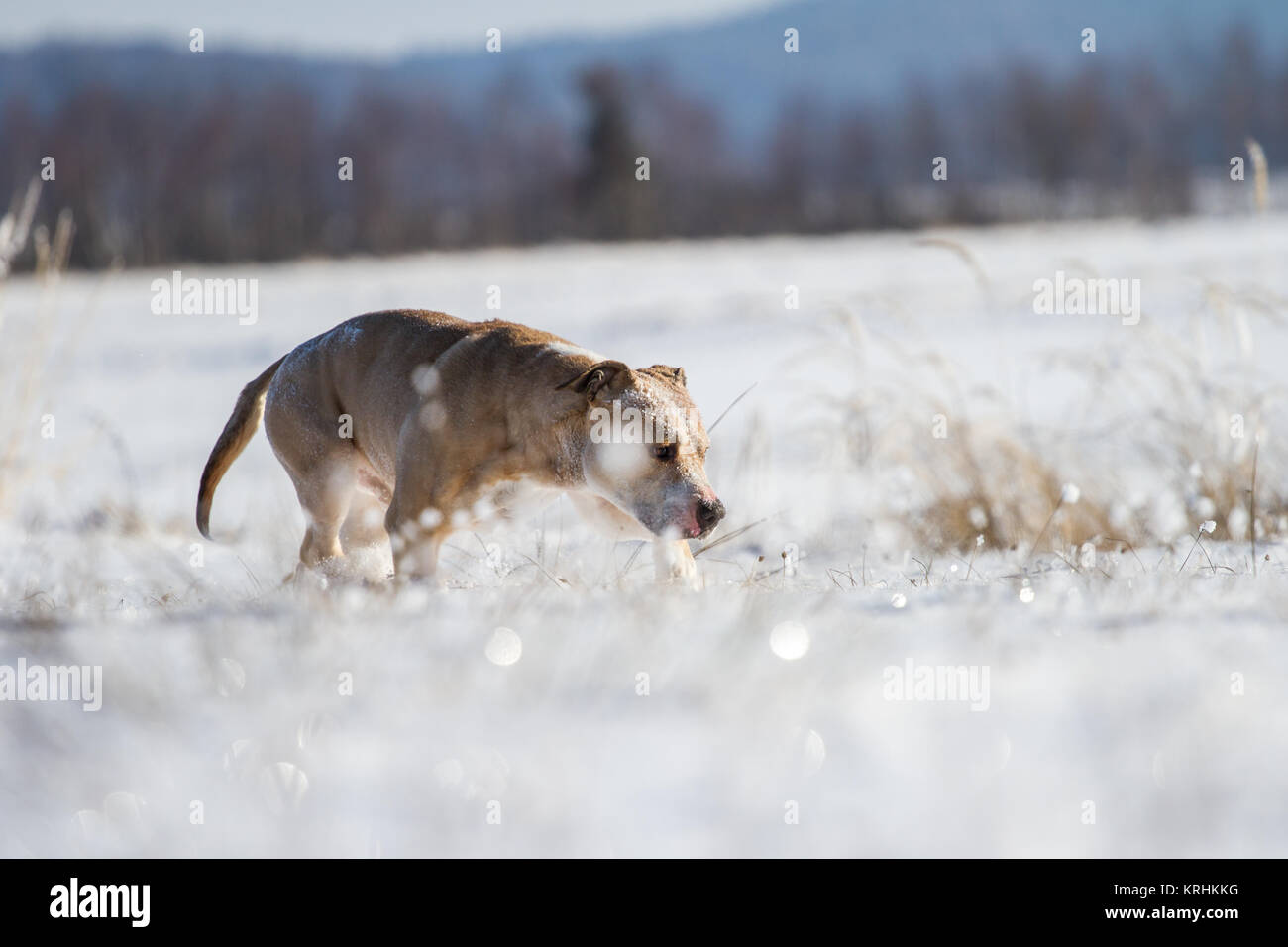 American Pit Bull Terrier male dog (Canis lupus familiaris) running on a meadow in the snow - Stock Image