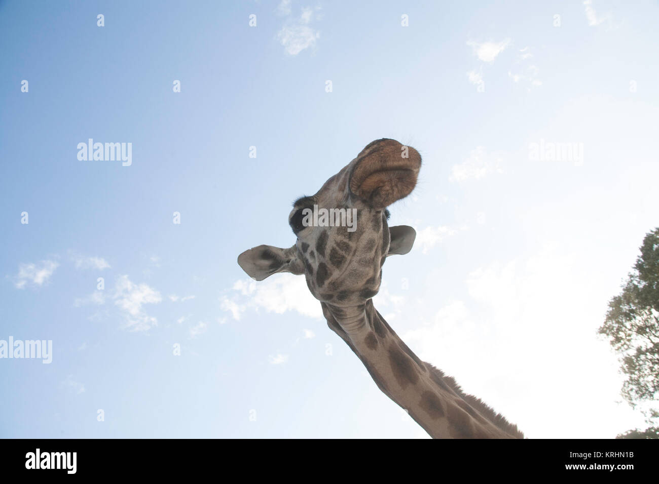 Rothschild giraffe at the Giraffe Centre, Nairobi, Kenya, East Africa - Stock Image