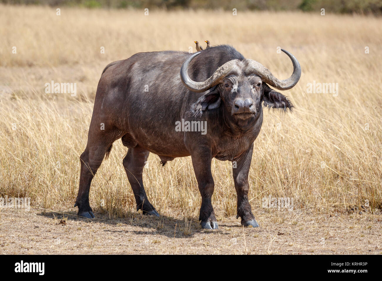 Large bull (male) adult Cape buffalo, Syncerus caffer, one of the Big 5, in long grass in savannah in Masai Mara, - Stock Image
