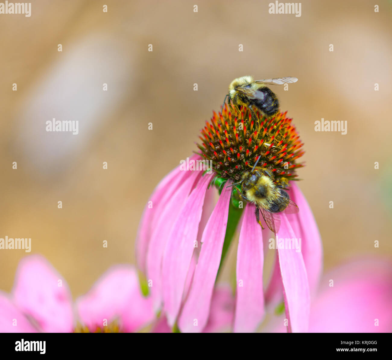 Common Eastern Bumble Bees on Echinacea Flower - Stock Image