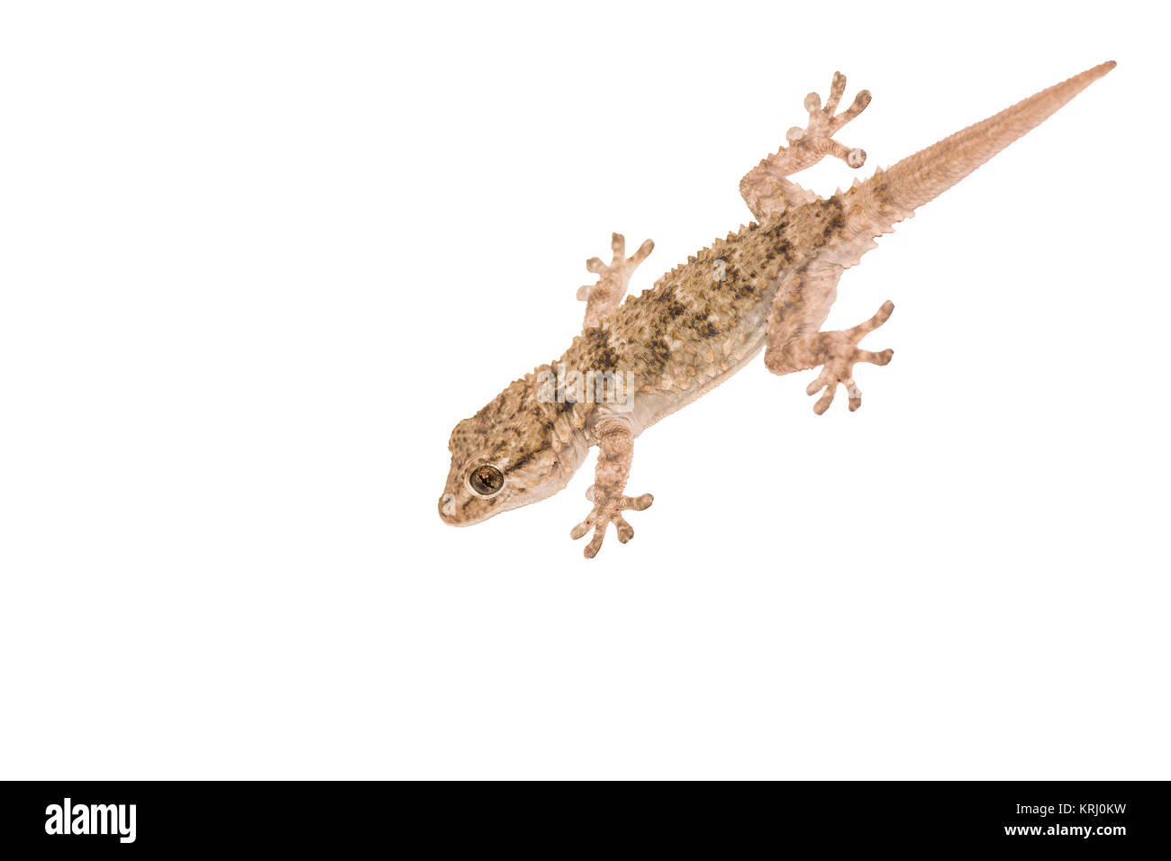 gekko against white background Stock Photo