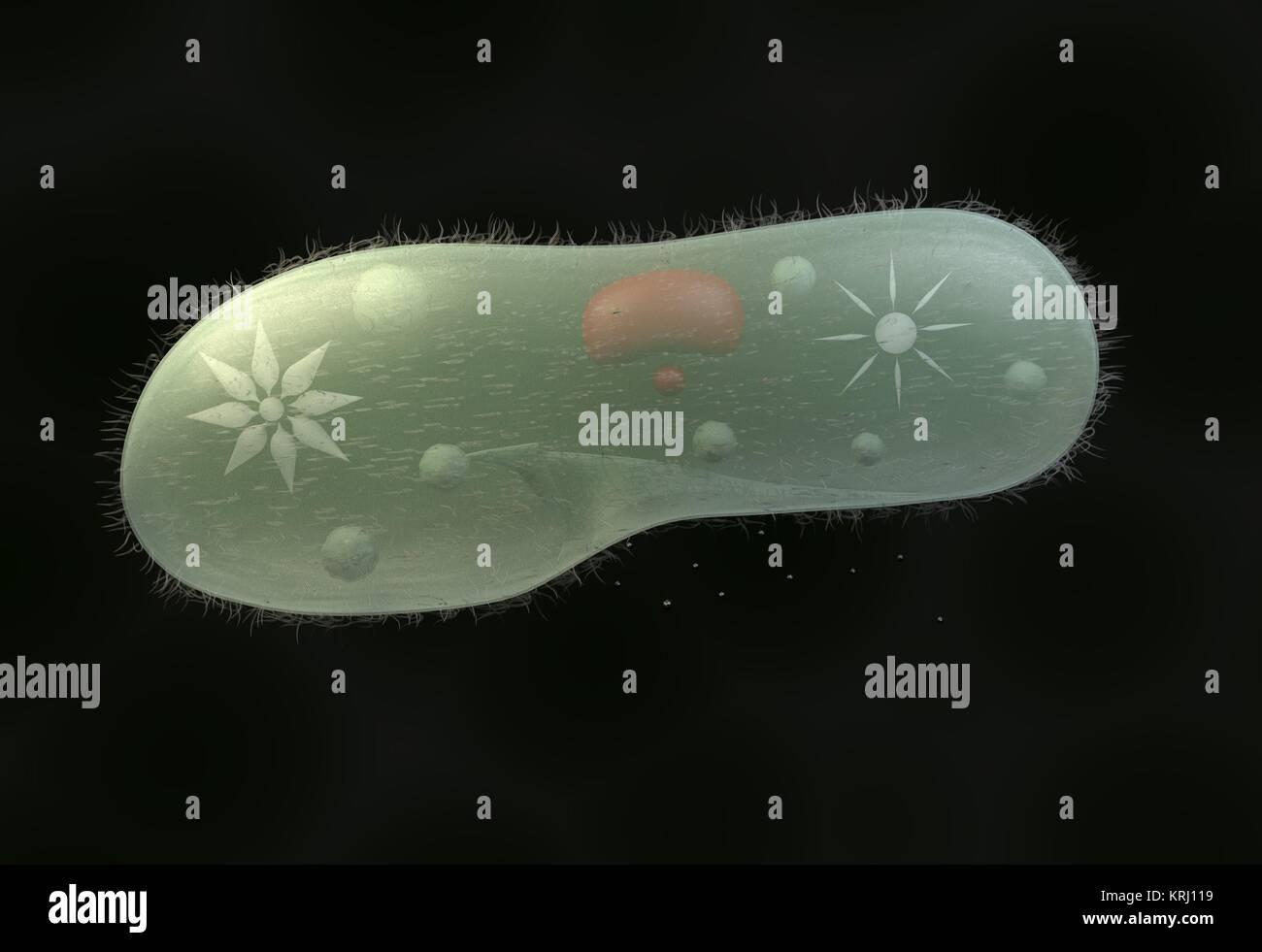 model biological micro organism paramecium caudatum 3d illustration - Stock Image
