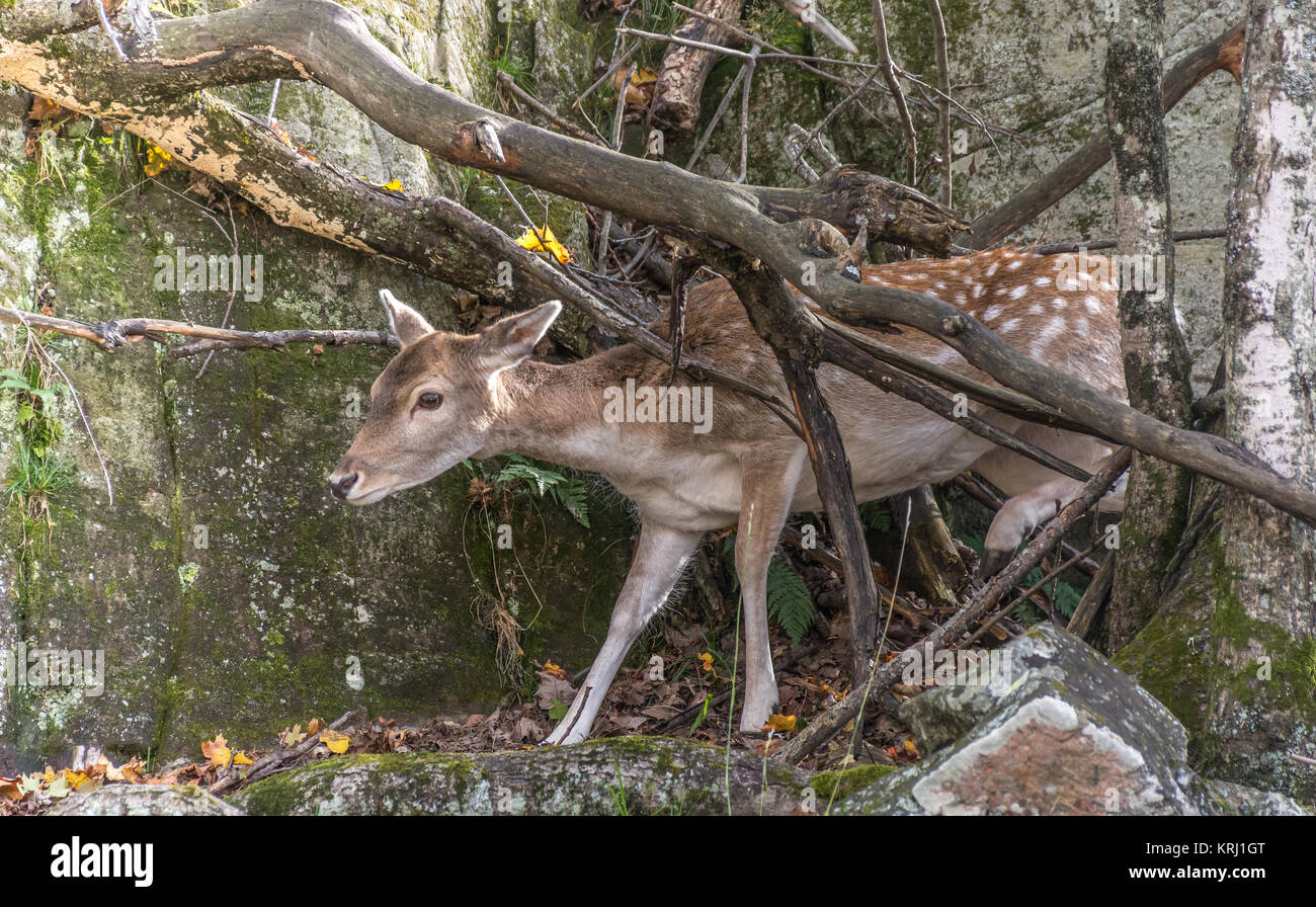 Deer escaping and climbing from a wall of rocks Stock Photo