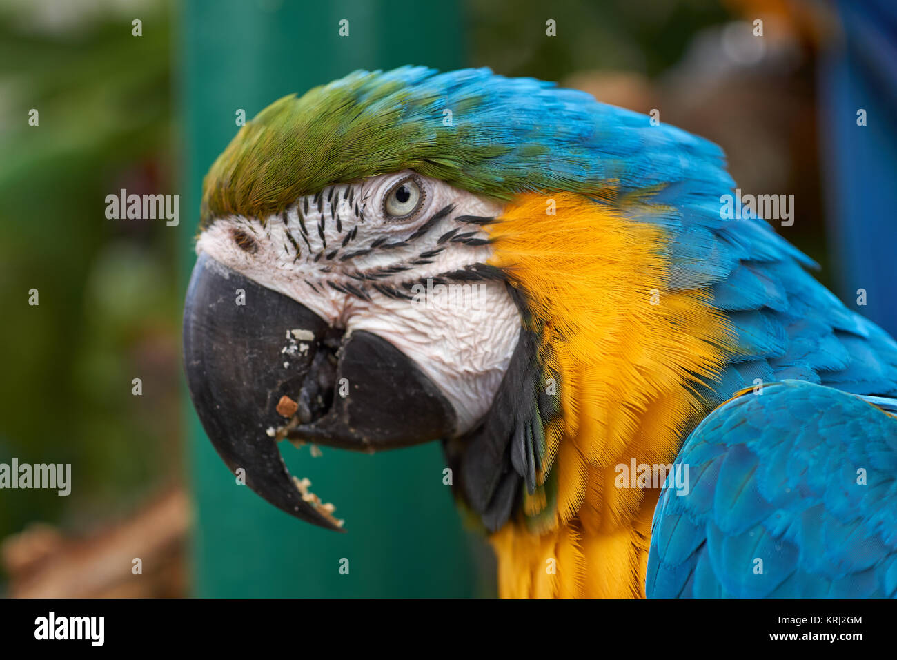 Blue-and-yellow Macaw (Ara ararauna) parrot - head from the side - Stock Image