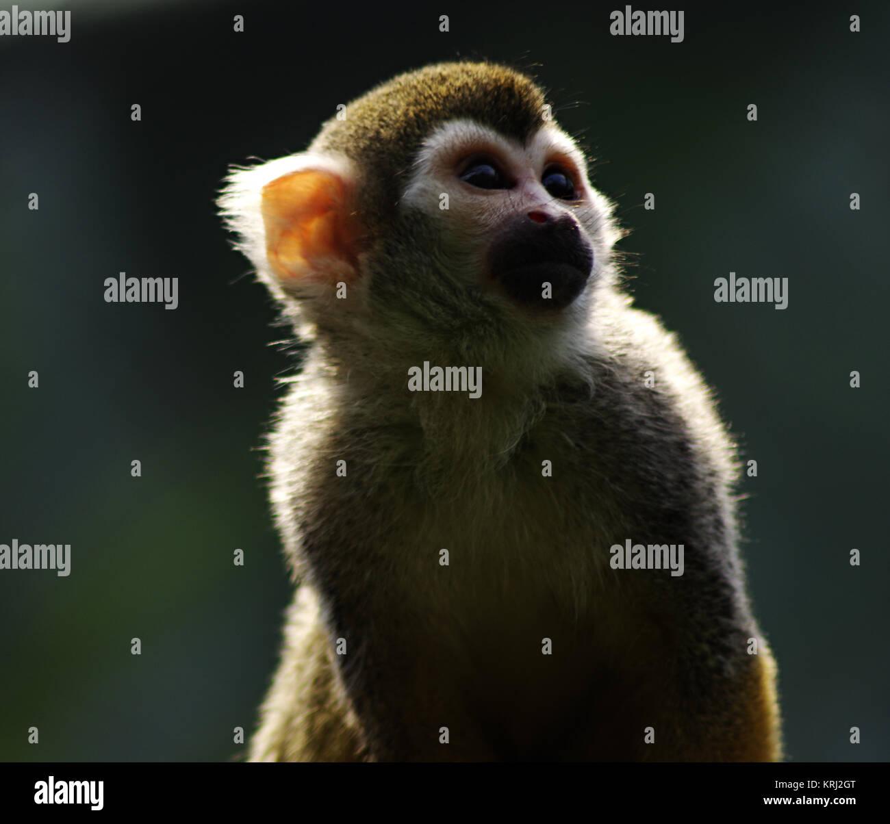 Squirrel monkeys in trees - photo#42