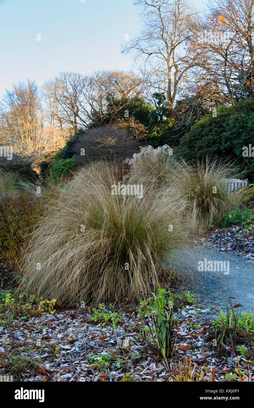 Arching stems of the red tussock grass, Chionochloa rubra, dominate a winter view at The Garden House, Buckland - Stock Image