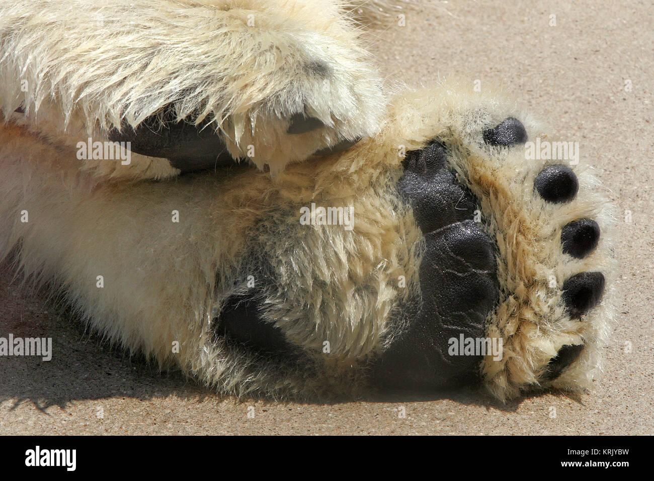 polar bear paws Stock Photo