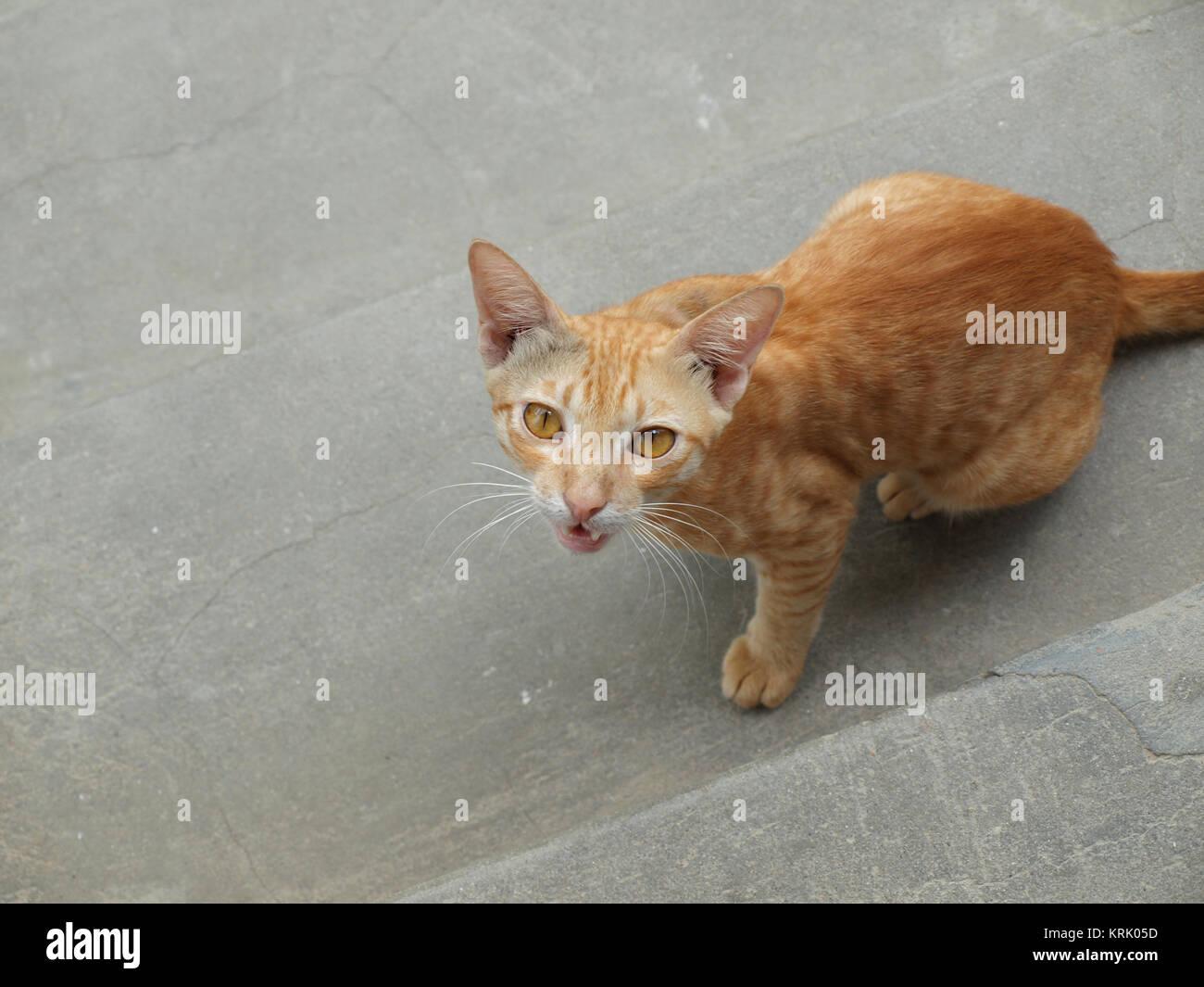 SNARLING CAT (angry cat looking at camera hissing aggressively) - Stock Image