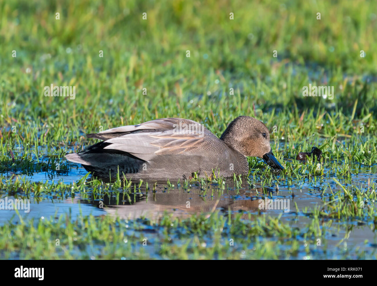 Drake Gadwall Duck (Anas Strepera) swimming in water in a flooded field in Winter in West Sussex, England, UK. - Stock Image