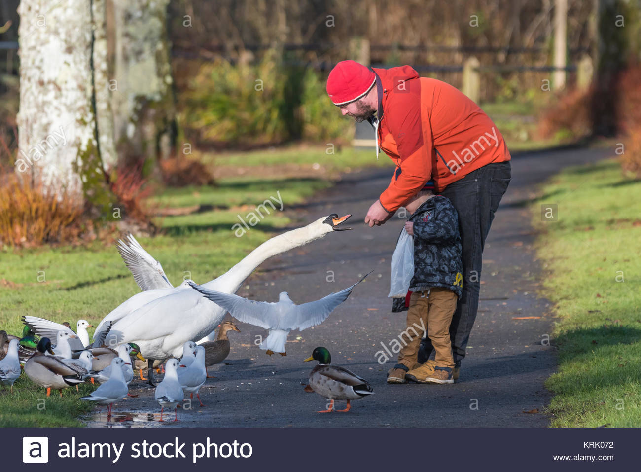 Man feeding a White Mute Swan as it takes food from his hand in Winter in West Sussex, England, UK. - Stock Image