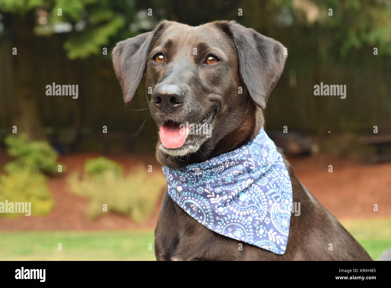 Black smiling dog in a blue bandana. - Stock Image