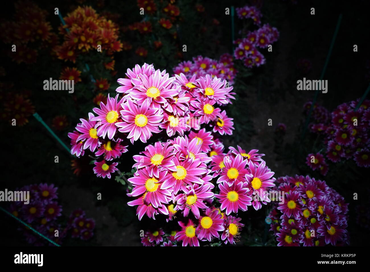 chrysanthemum - Stock Image