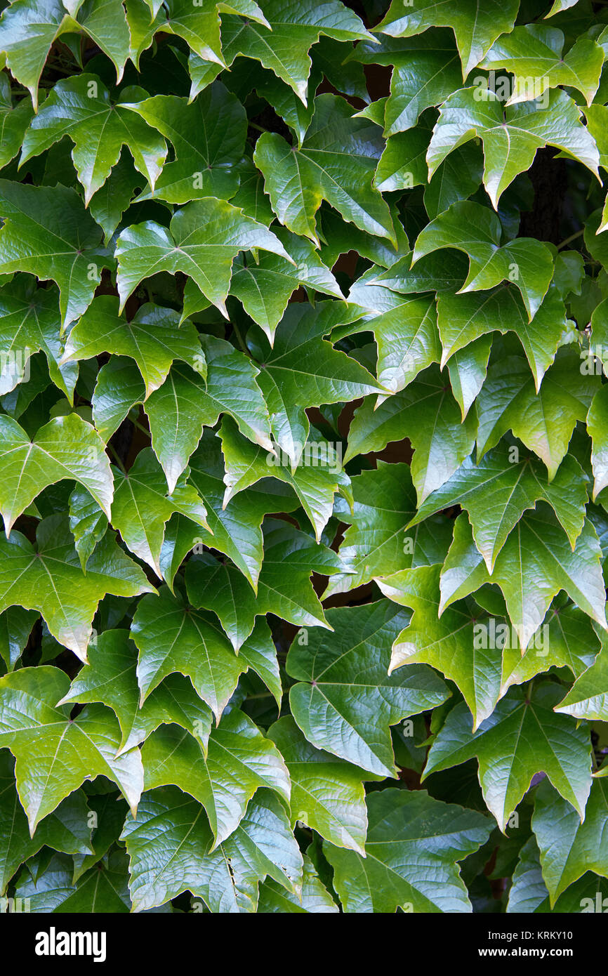 parthenocissus tricuspidata on a wall in styria Stock Photo