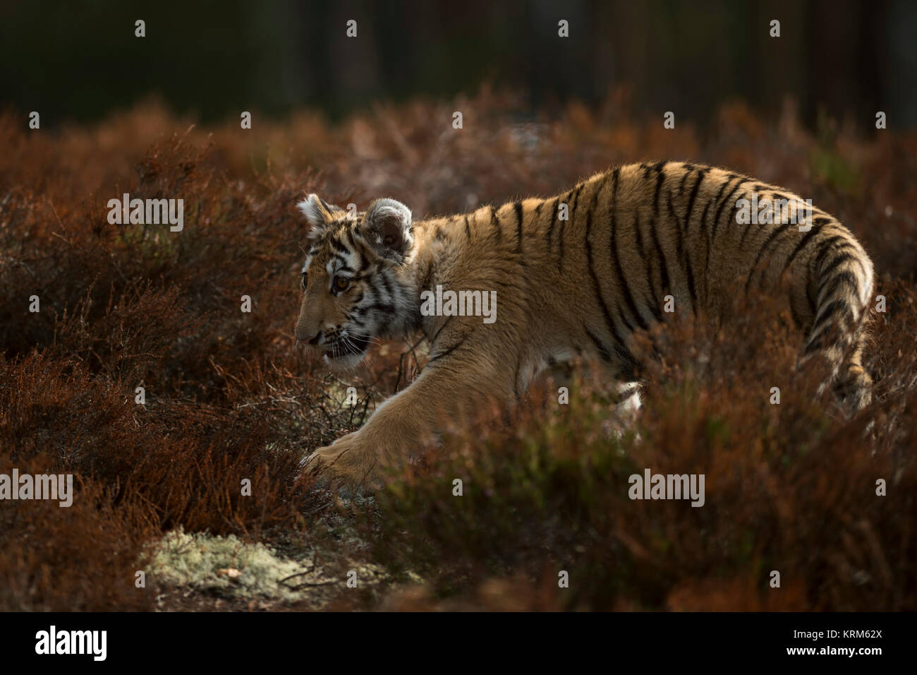 Royal Bengal Tiger / Koenigstiger ( Panthera tigris ), young cub, sneaking, walking stealthy, furtive through the - Stock Image