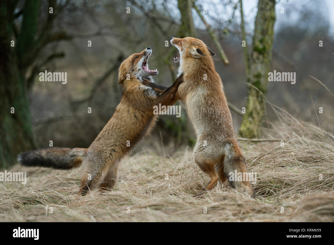 Red Fox Foxes Vulpes Vulpes Two Adults Standing On Hind Legs