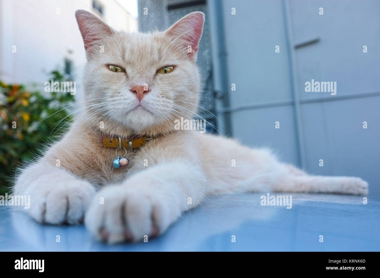 Cat resting on the roof of a car and looking at the camera. - Stock Image