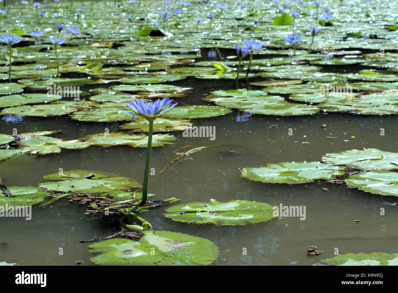 Purple waterlily flowers in freshwater pond. Waterlily flowers are native to the temperate and tropical climates. - Stock Image