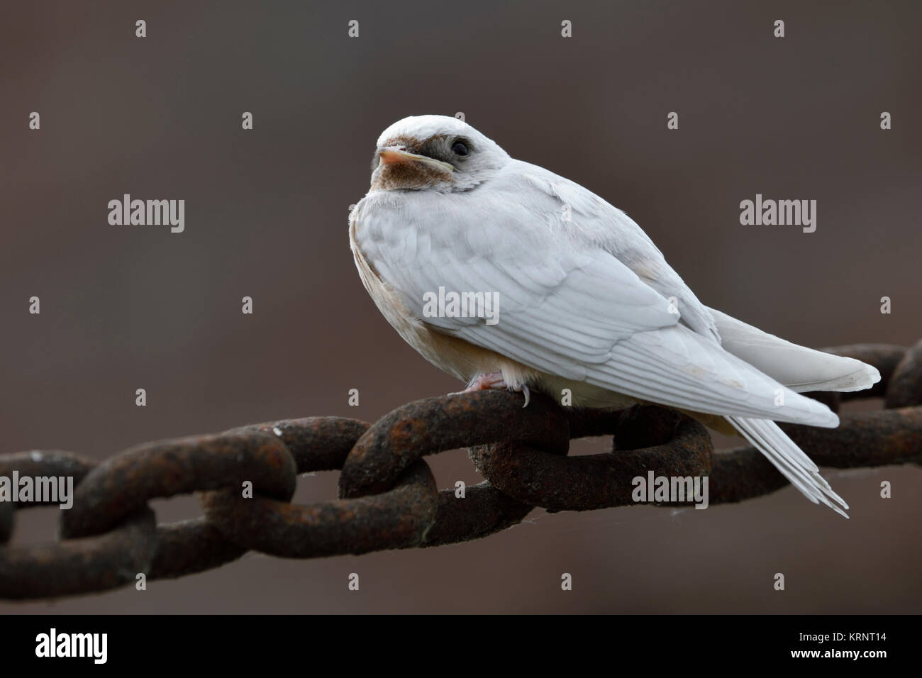 Barn Swallow ( Hirundo rustica ), just fledged, gene defect, white plumage, leucistic, leucism, perched on a massive - Stock Image