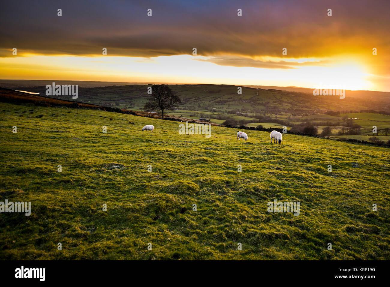 Sheep Grazing At Sunset, With Tittiesworth Reservoir In The Distance, The Roaches / Hen Cloud Landscape, The Peak - Stock Image
