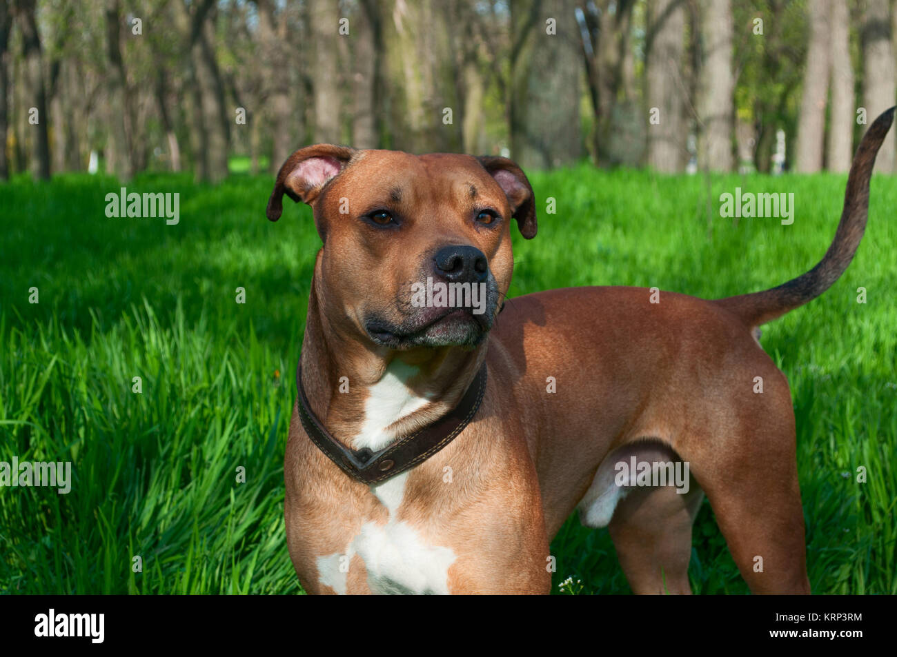 Red american Staffordshire terrier is in full growth - Stock Image