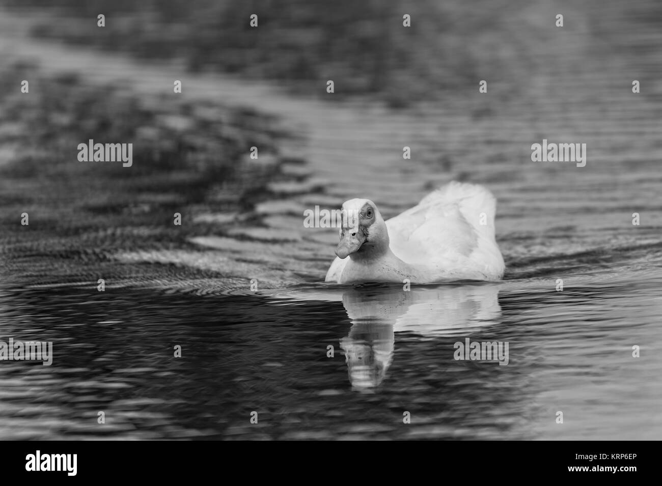 Photo of a duck in its natural environment, converted to black and white. - Stock Image