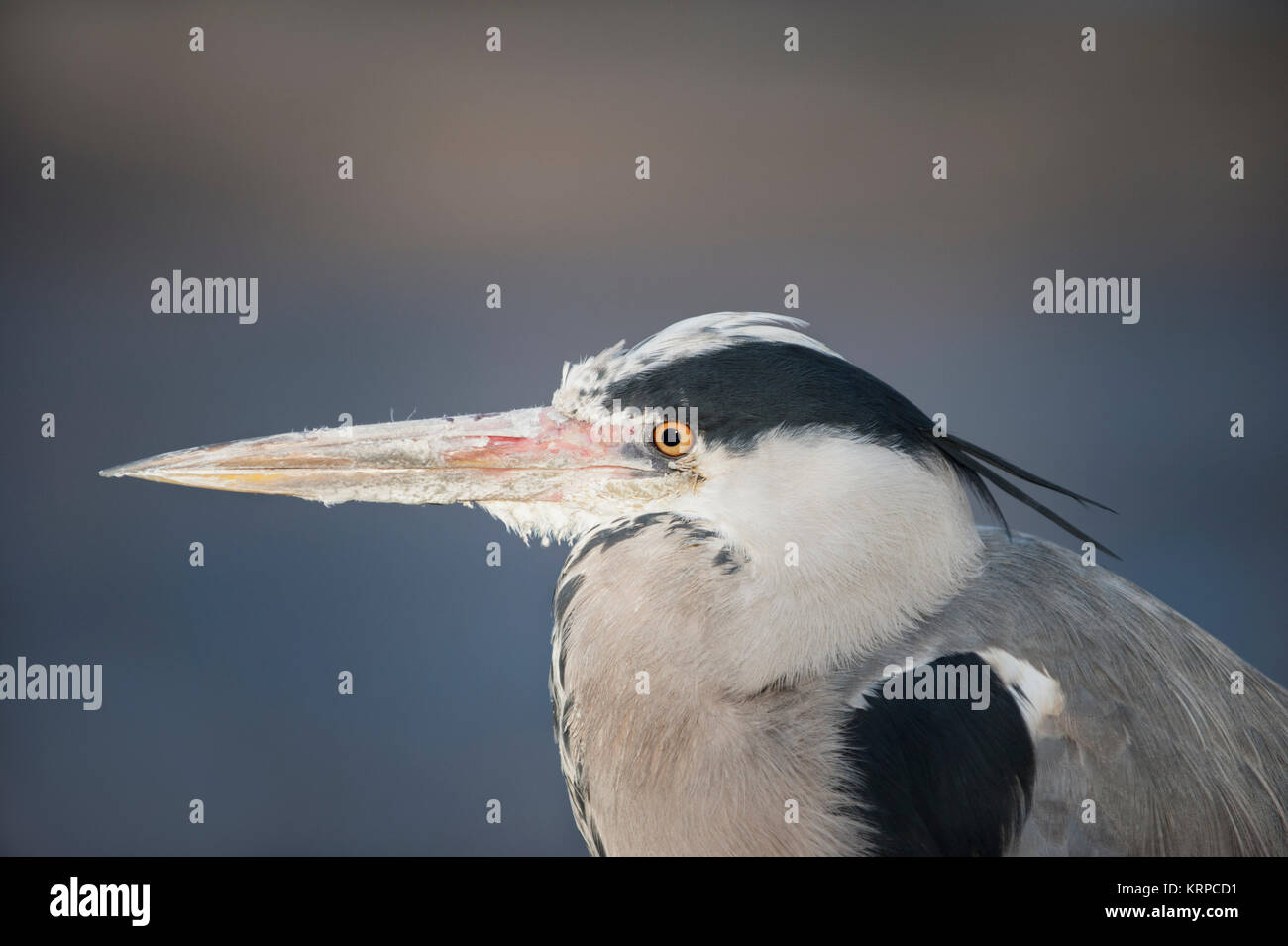Grey Heron, (Ardea cinerea), Regents Park, London, United Kingdom - Stock Image