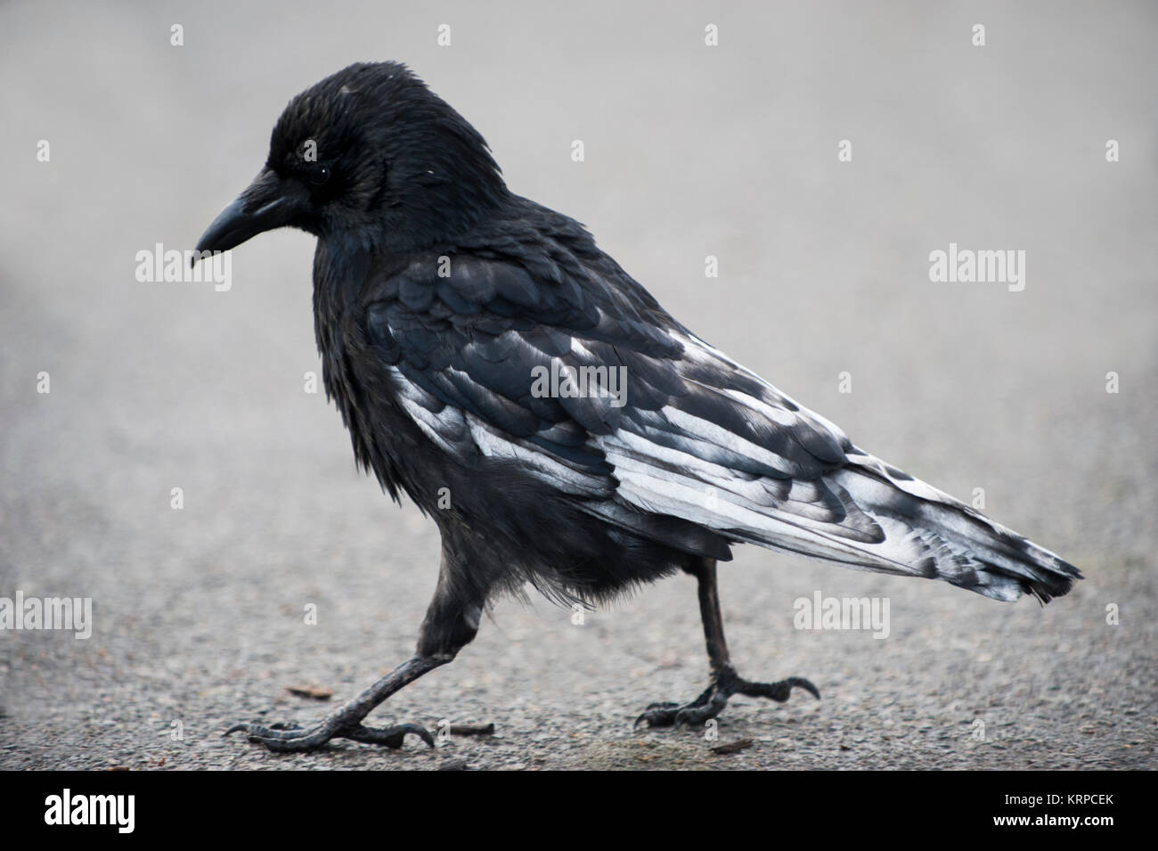 Carrion Crow, (Corvus corone), with partial leucism or leukism in plumage, Regents Park, London, United Kingdom - Stock Image