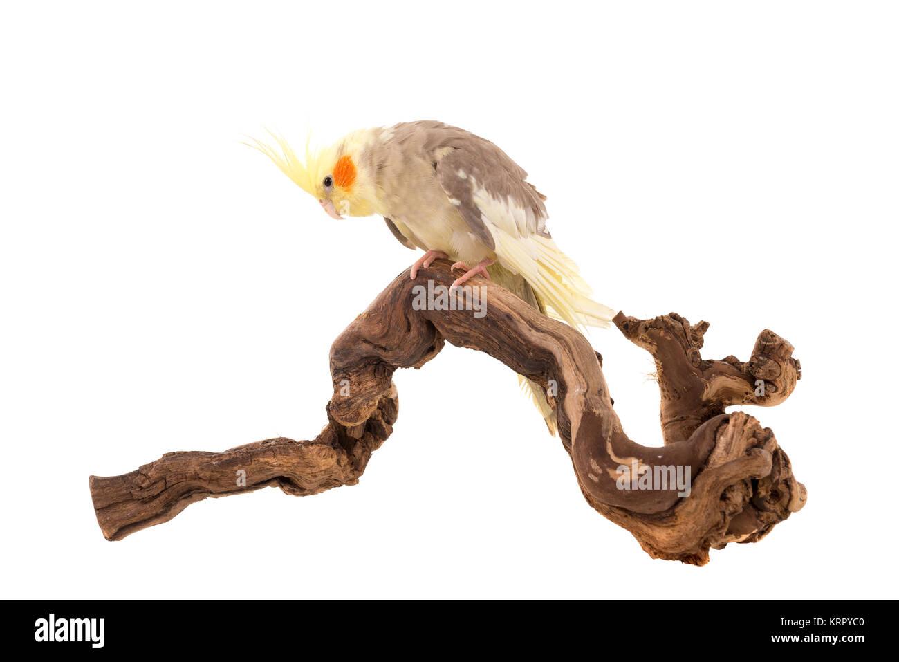 Cockatiel - Stock Image