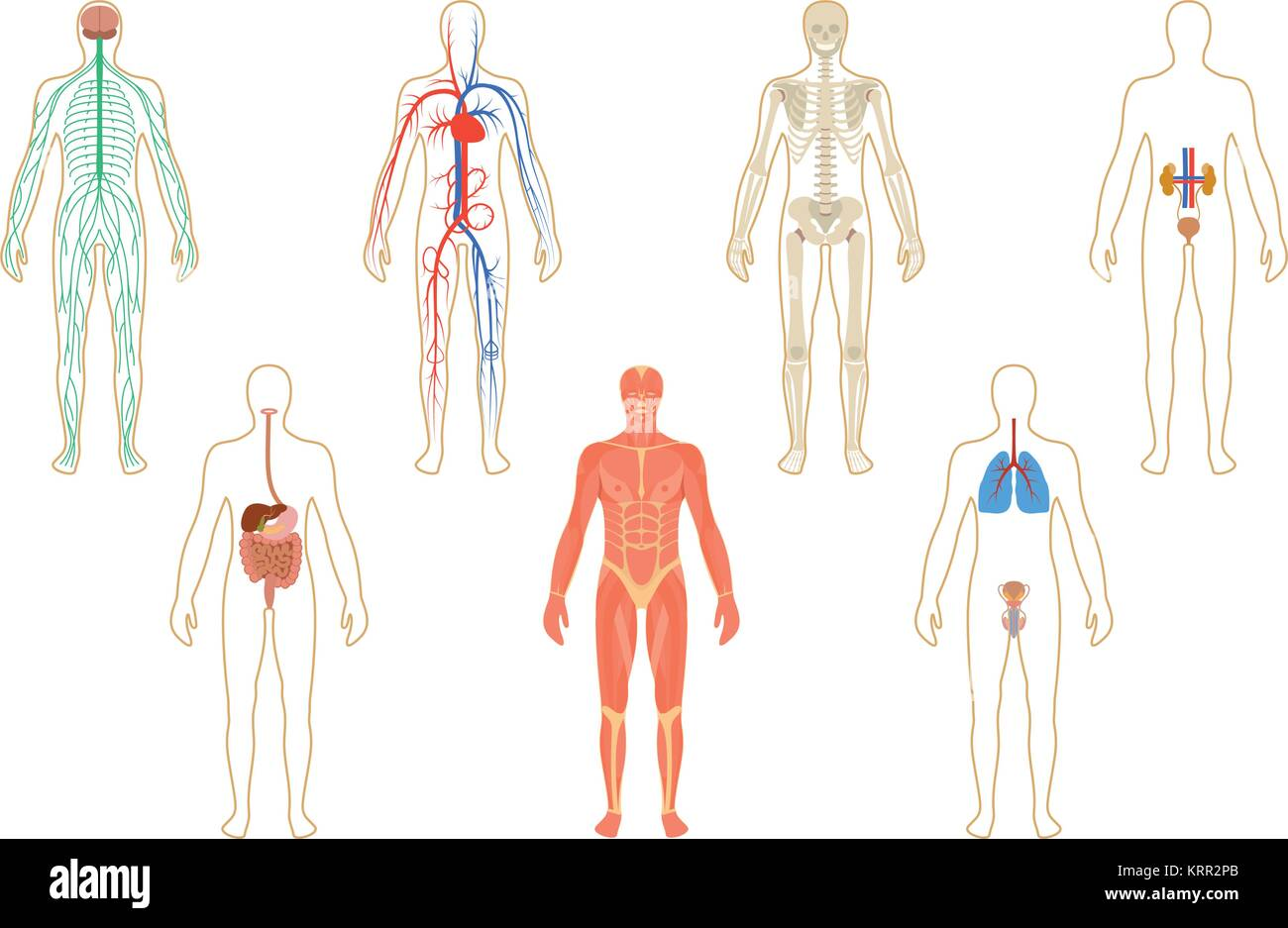 Set of human organs and systems of the body vitality. Vector Stock ...