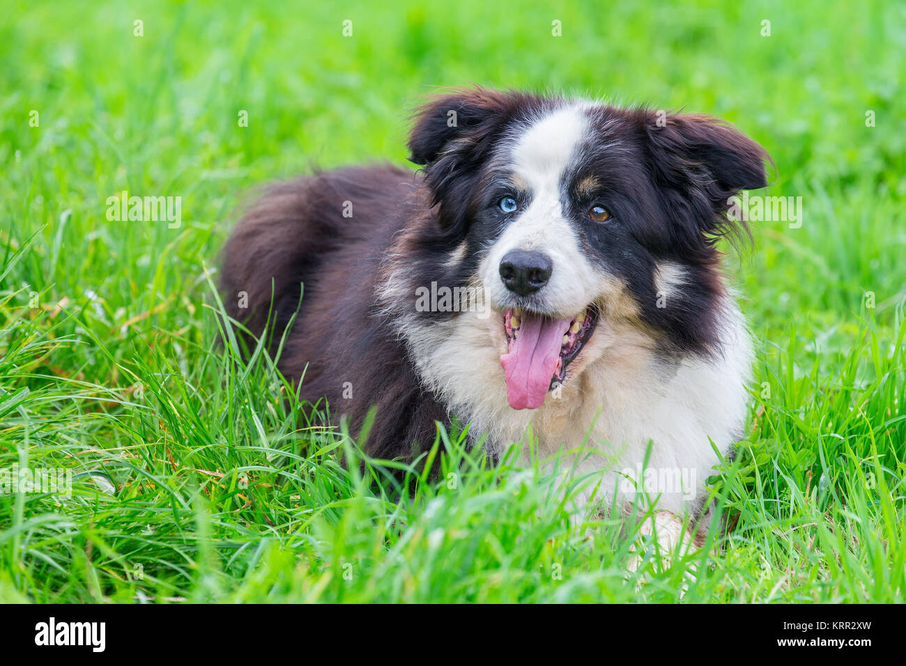Odd-eyed border collie lying in green grass - Stock Image