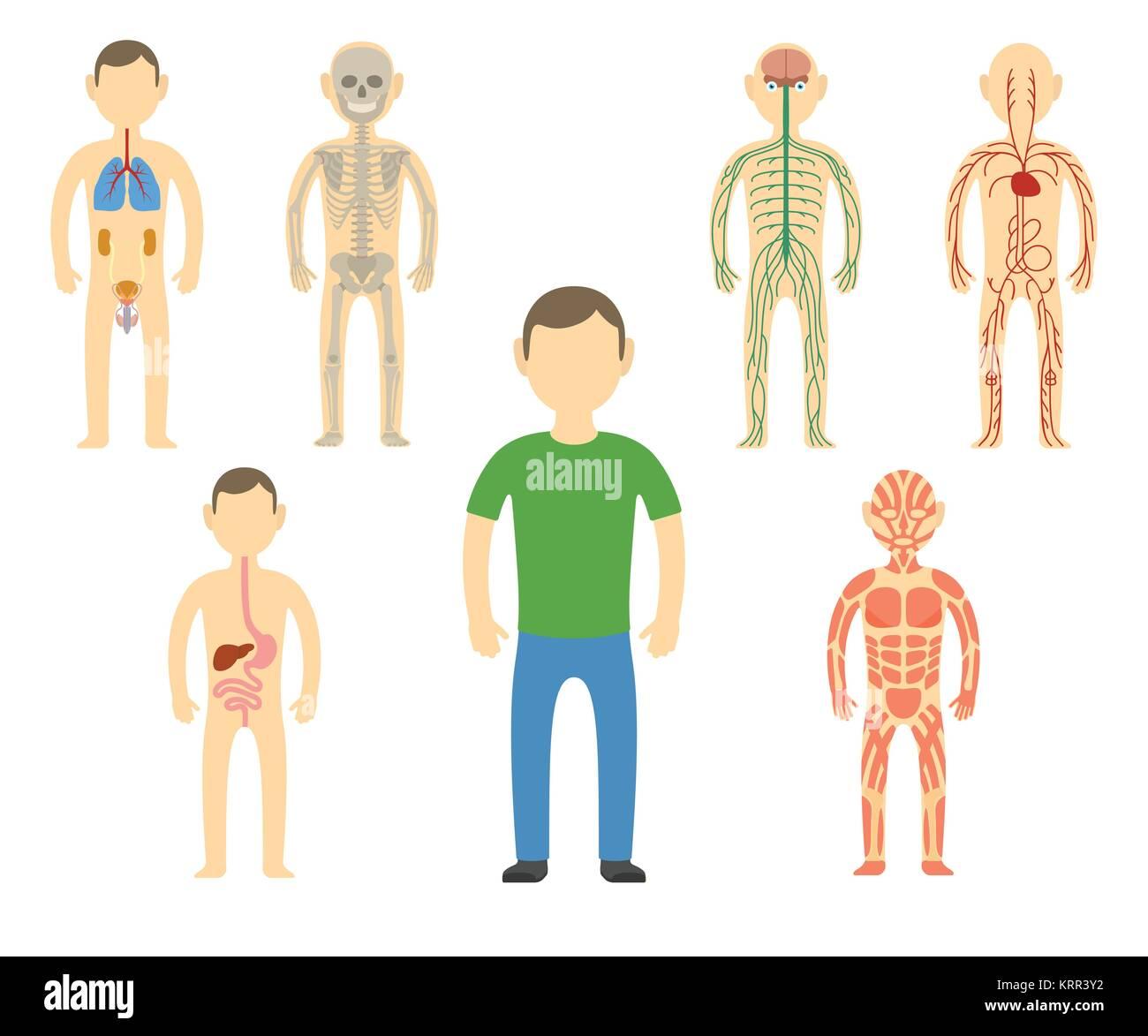Cartoon man body anatomy. All body systems - Urogenital, Respiratory, Nervous, Circulatory, Skeleton, Digestive - Stock Image