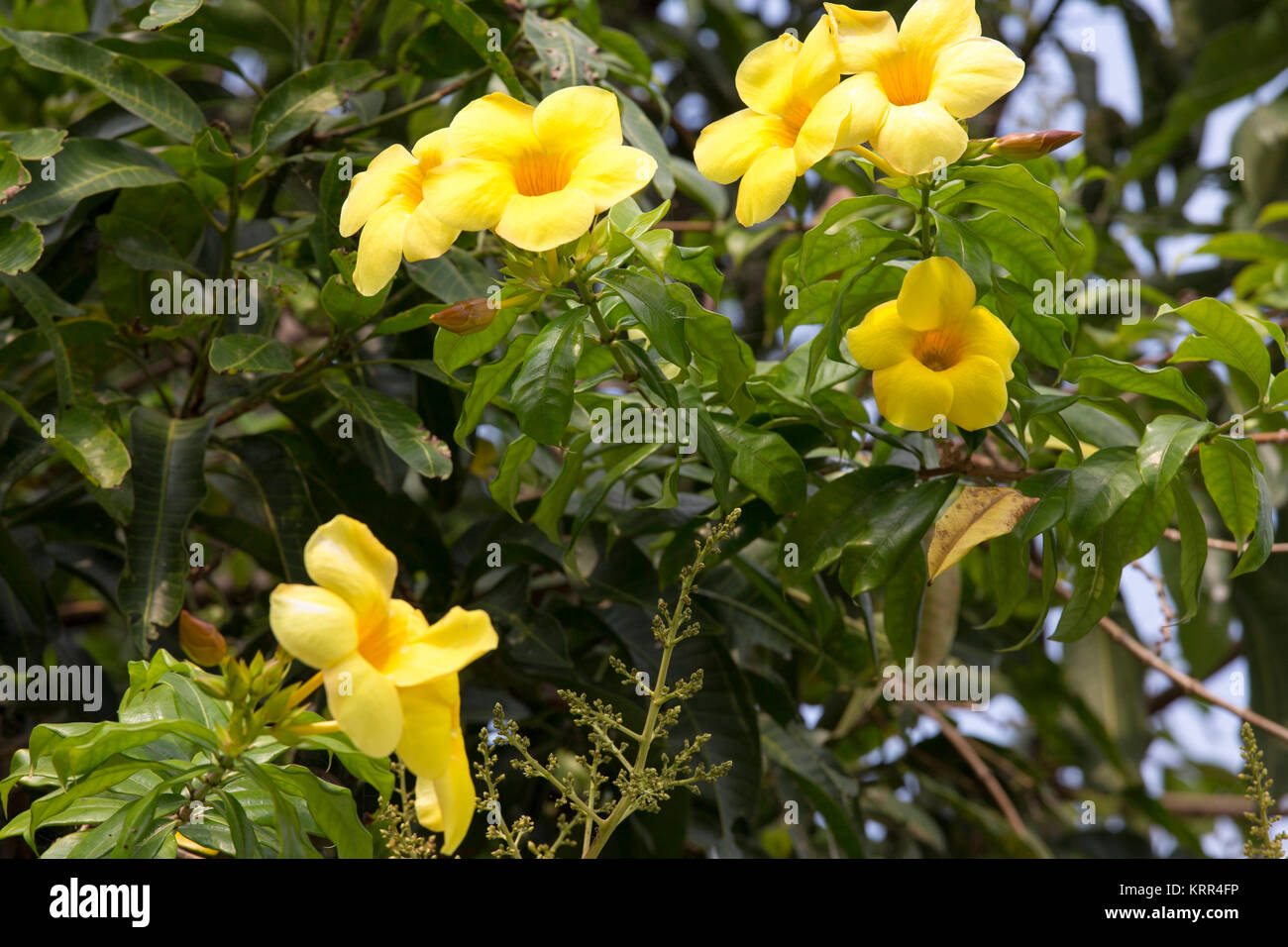Jasmine flowers raindrops stock photos jasmine flowers raindrops yellow flowers with green plant background stock image izmirmasajfo