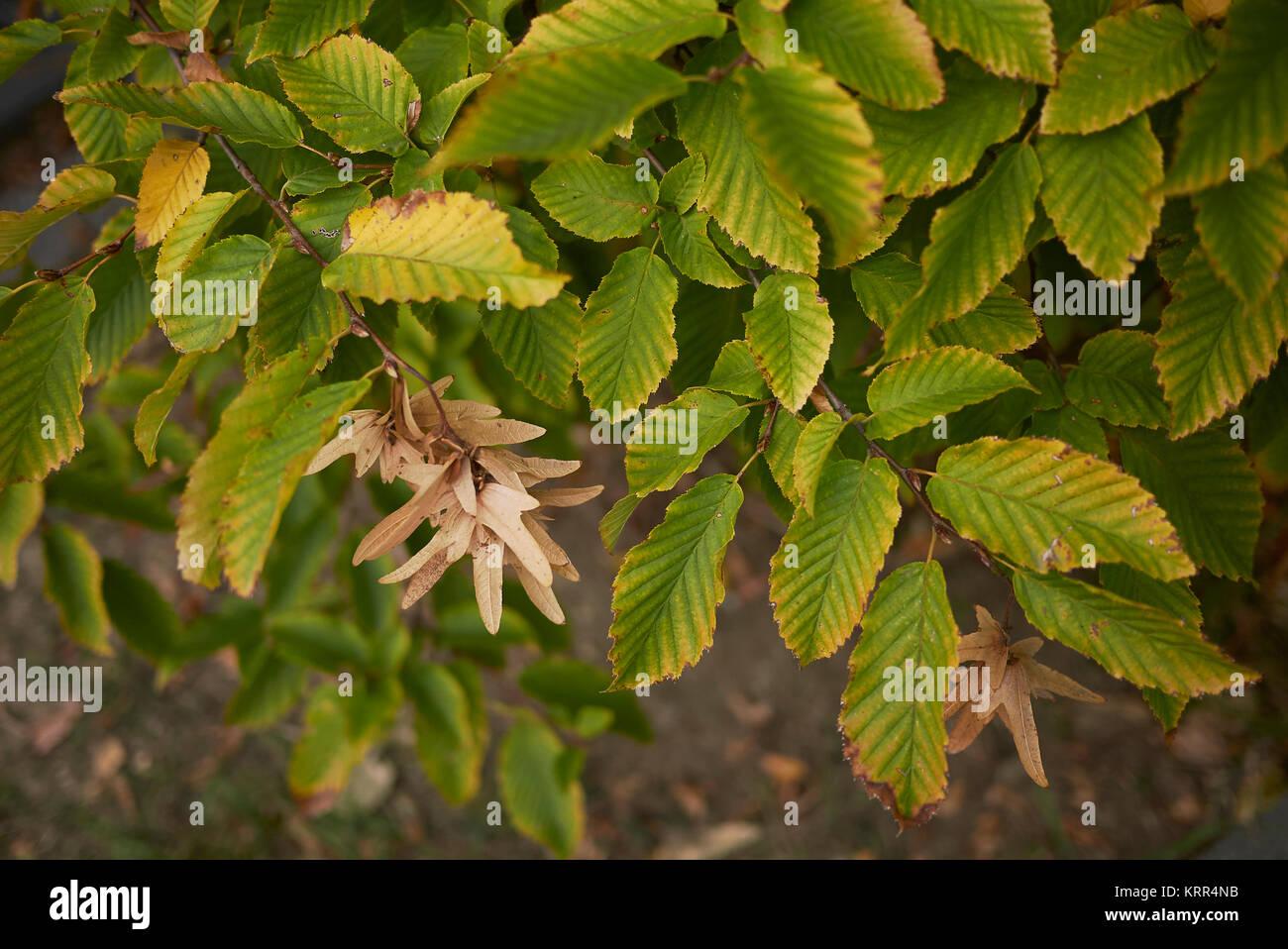 Carpinus betulus - Stock Image