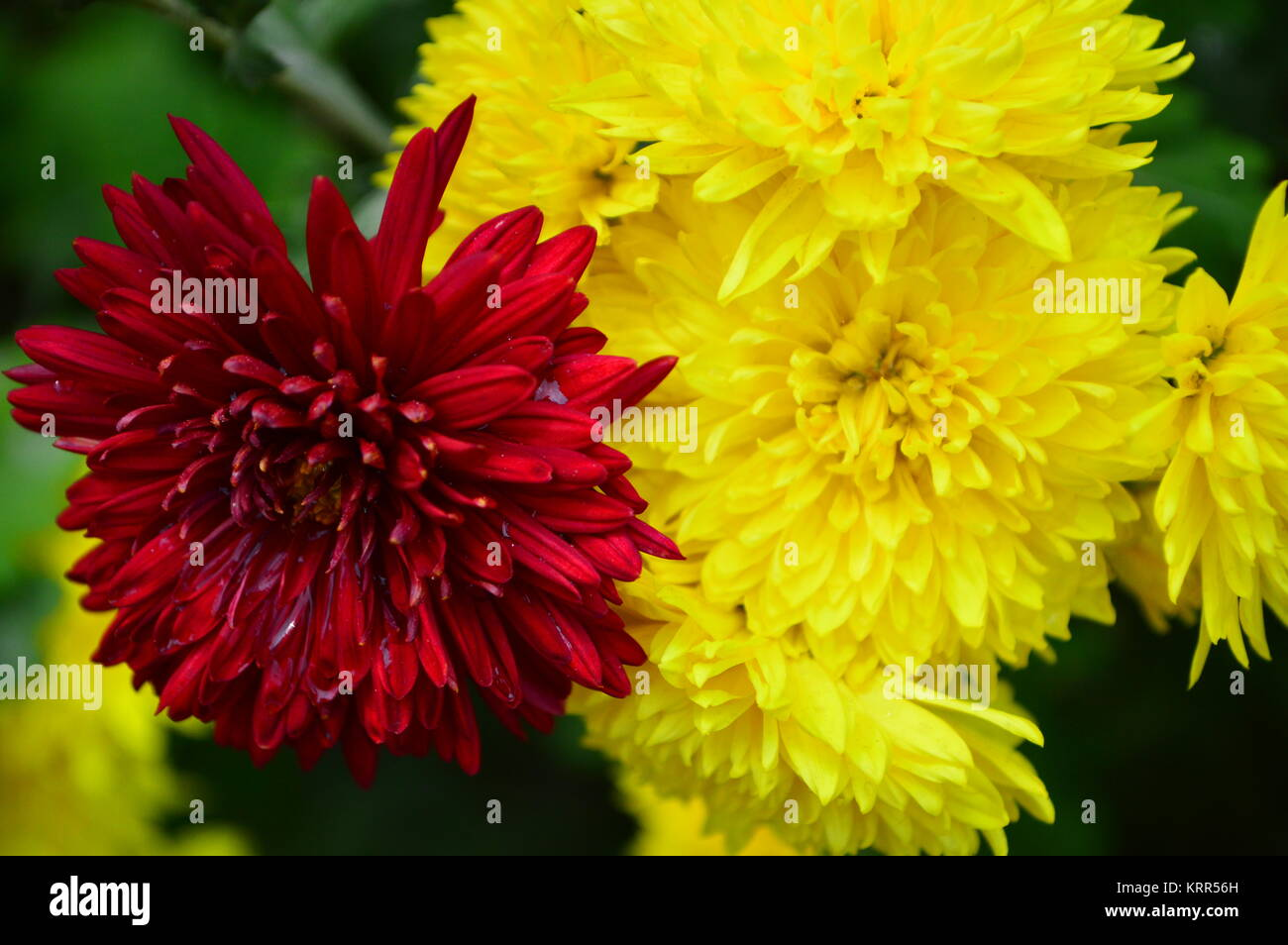 Red And Yellow Chrysanthemum Flowers Bloom Stock Photos Red And