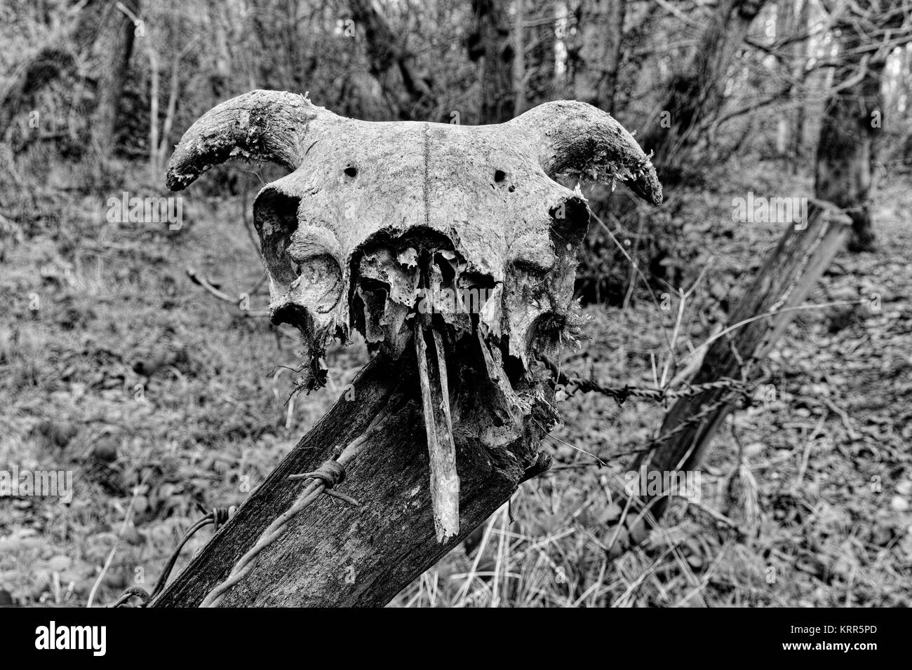 A sheep skull that is slowly disintegrating sitting on a fence post. - Stock Image