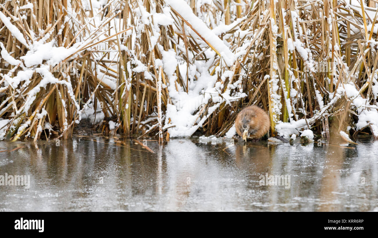 North American beaver sits and eat at riverside in winter in Finland - Stock Image