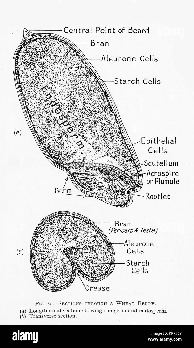 a 19th century diagram of a cross section of a wheat grain