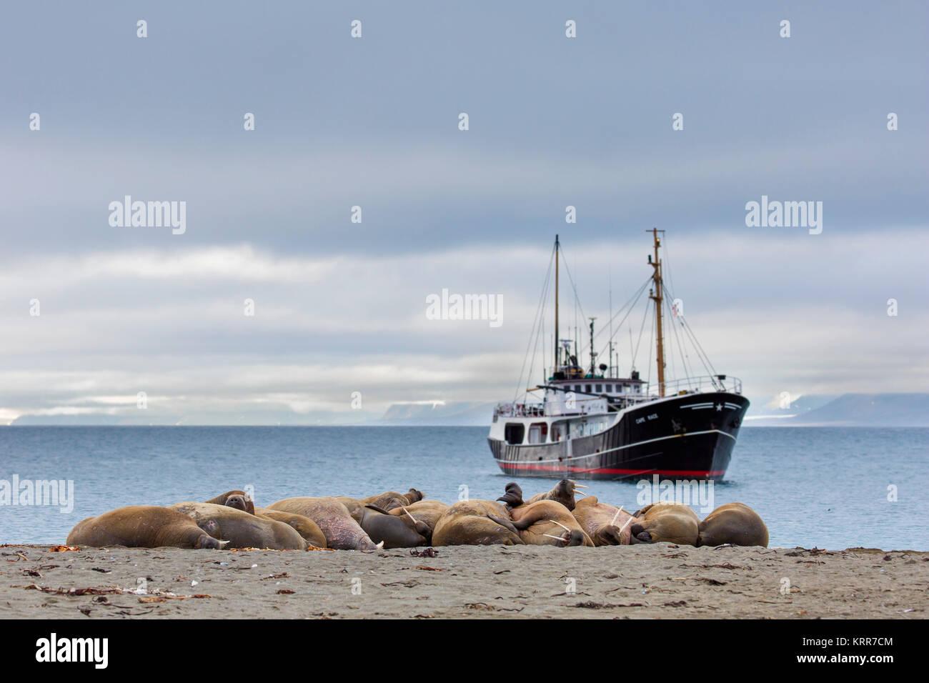 Group of walruses (Odobenus rosmarus) resting on beach at Phippsøya in Sjuøyane, archipelago north of - Stock Image