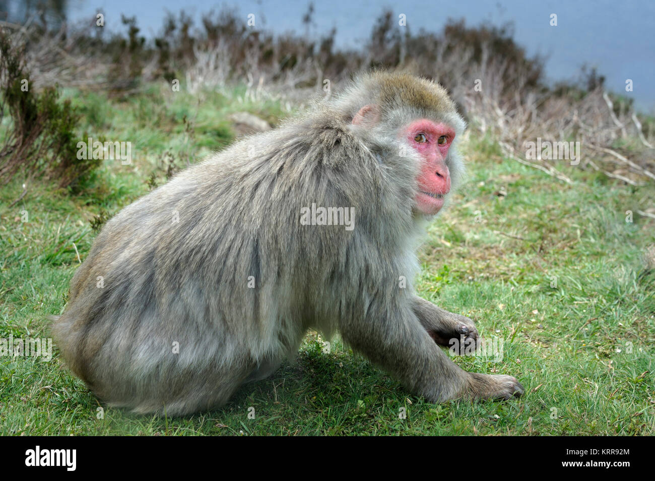 Snow Monkey Japanese Macaque Macaca fuscata in captivity Stock Photo