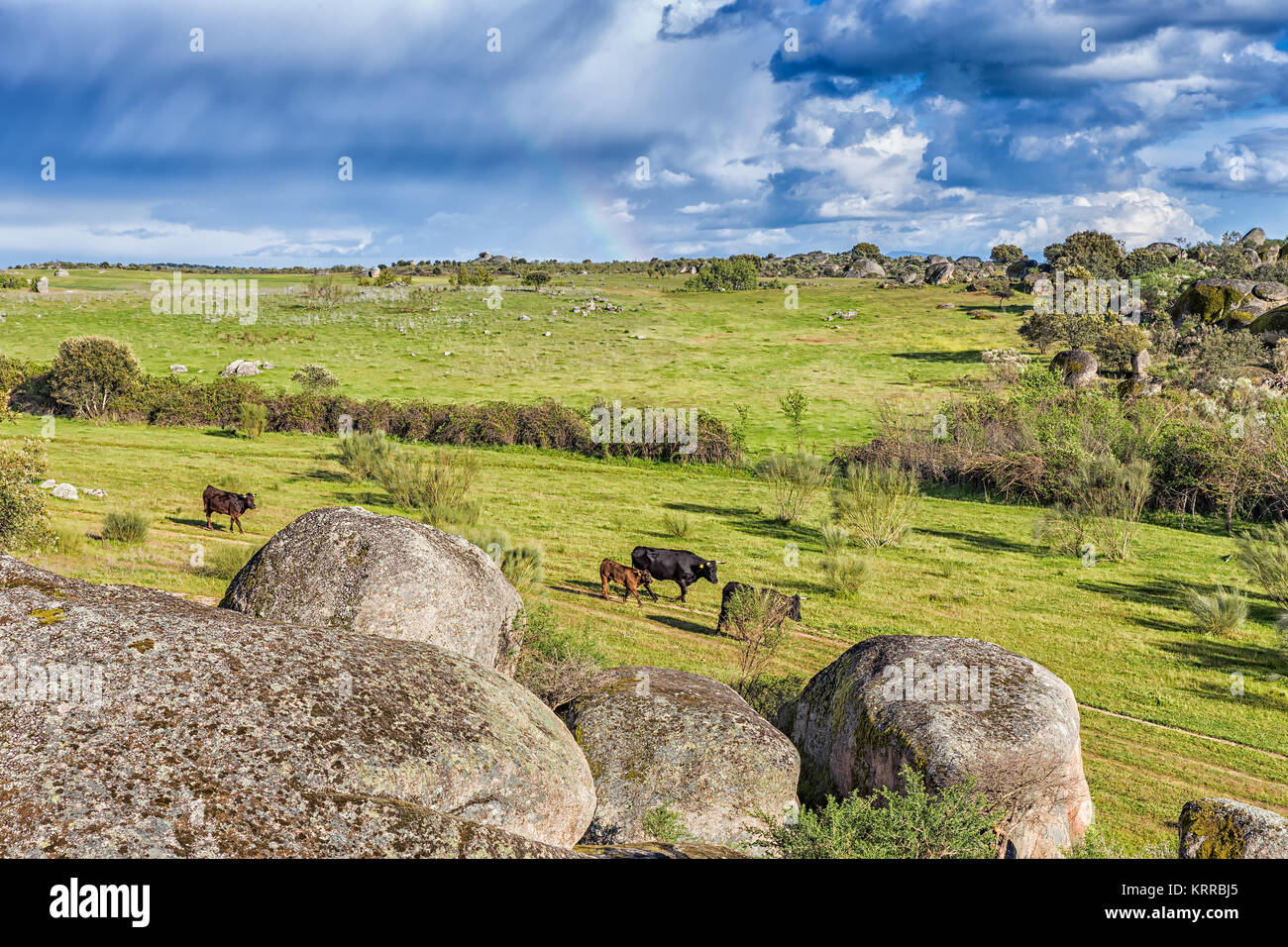 Cattle walking in the natural area of Barrueco. Malpartida de Caceres. Spain. - Stock Image