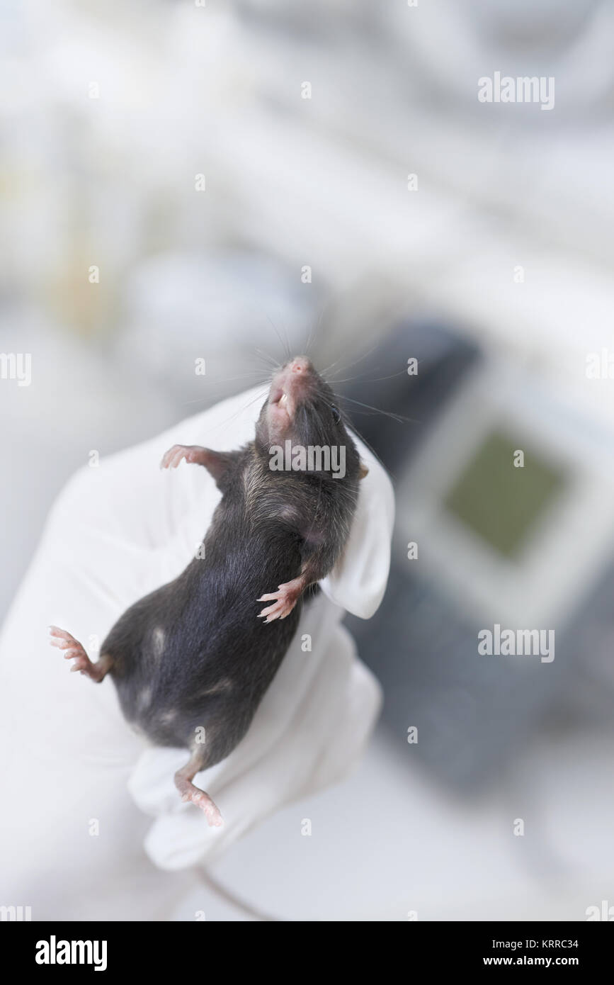 Black laboratory mouse immobilized in a gloved hand of a scientist or tech  on abstract laboratory background, text - Stock Image