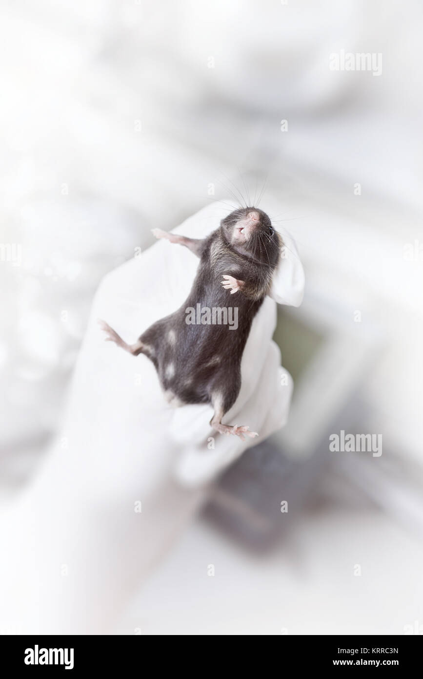 Black laboratory mouse in gloved hand of a scientist or tech on abstract laboratory background, toned image - Stock Image