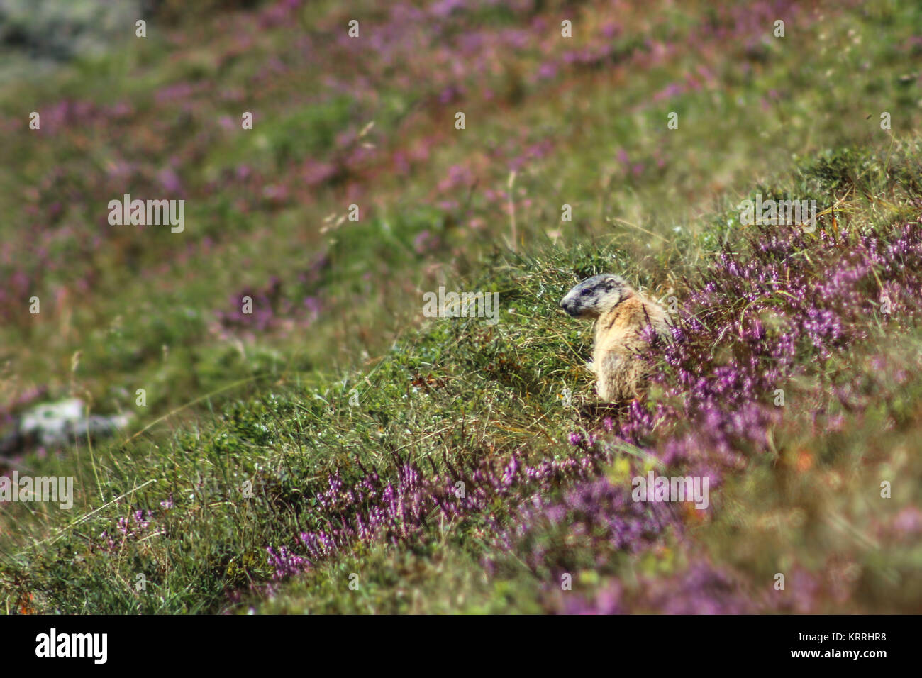 baby groundhog (mormot) sitting in the gras in the alps (europe) - Stock Image