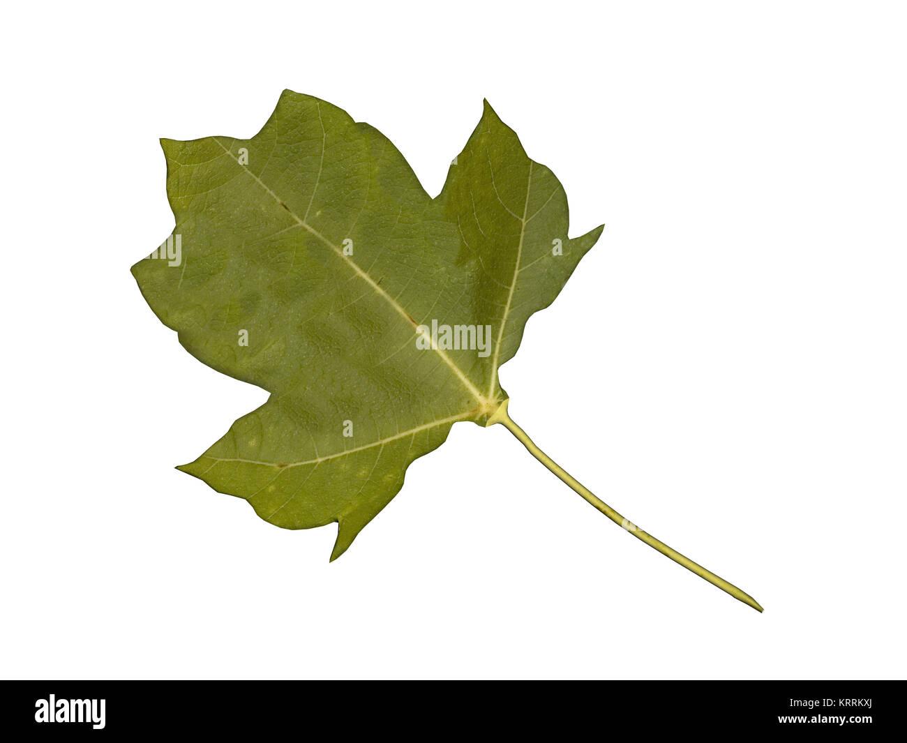 optional maple leaf Stock Photo