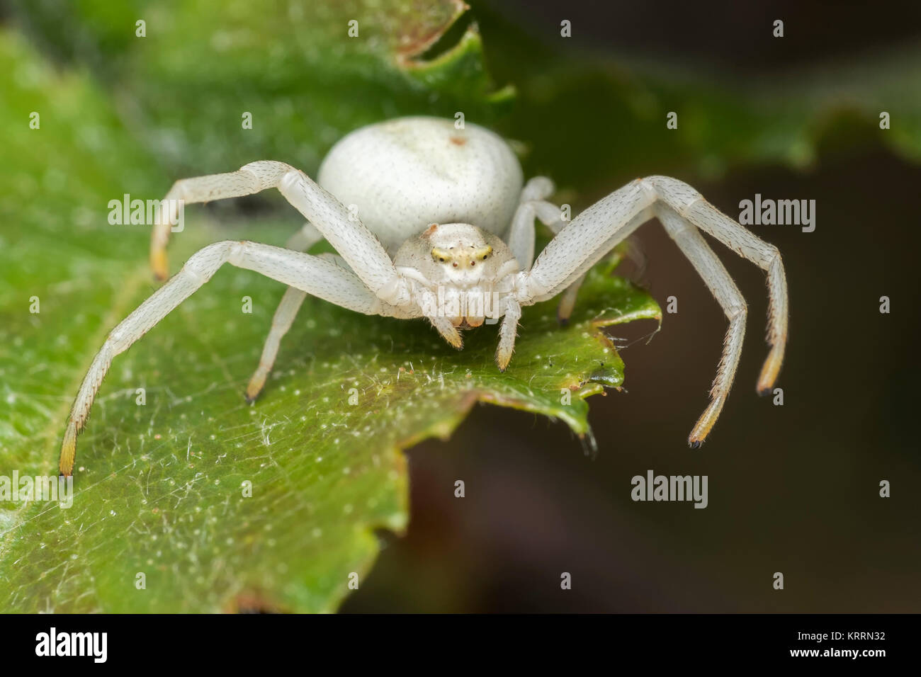 Crab Spider (Misumena vatia) poised on a leaf waiting for prey. Cahir, Tipperary, Ireland. - Stock Image