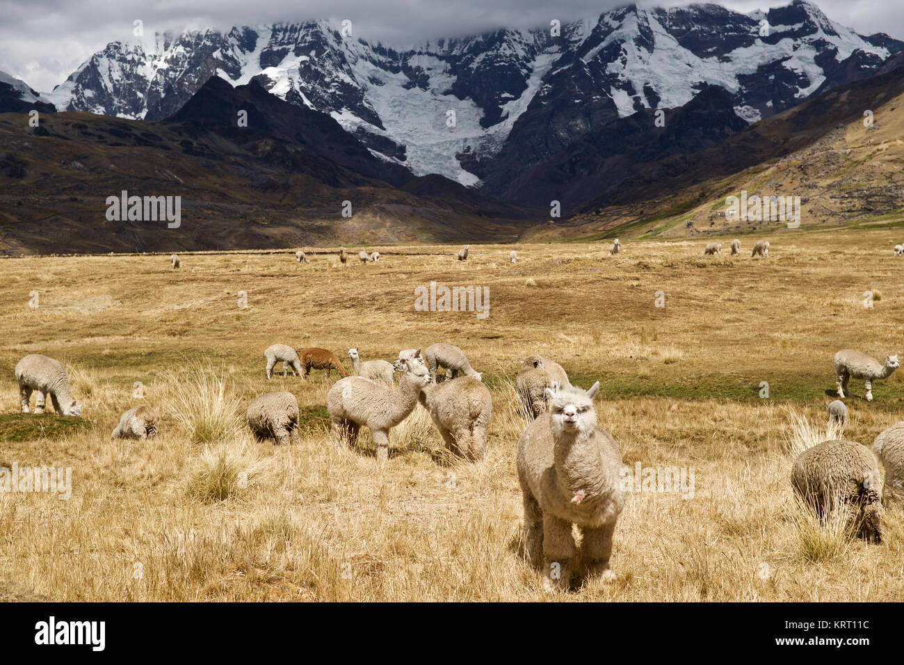Herd of alpacas grazing on the pastures with glacier of Apu Ausangate behind them Stock Photo