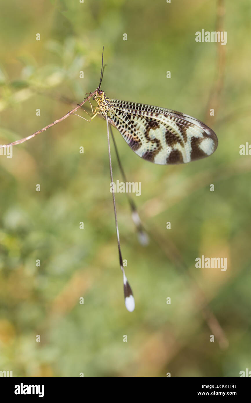 Nemoptera coa is a Palearctic genus of insects of the family Nemopteridae or spoonwings. - Stock Image