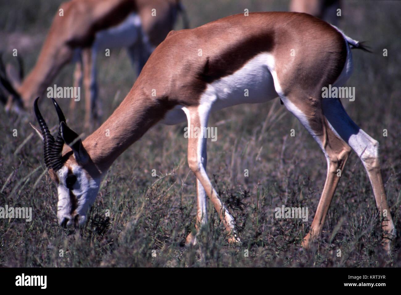 springbok (Antidorcas marsupialis) in the etosha national park namibia - Stock Image