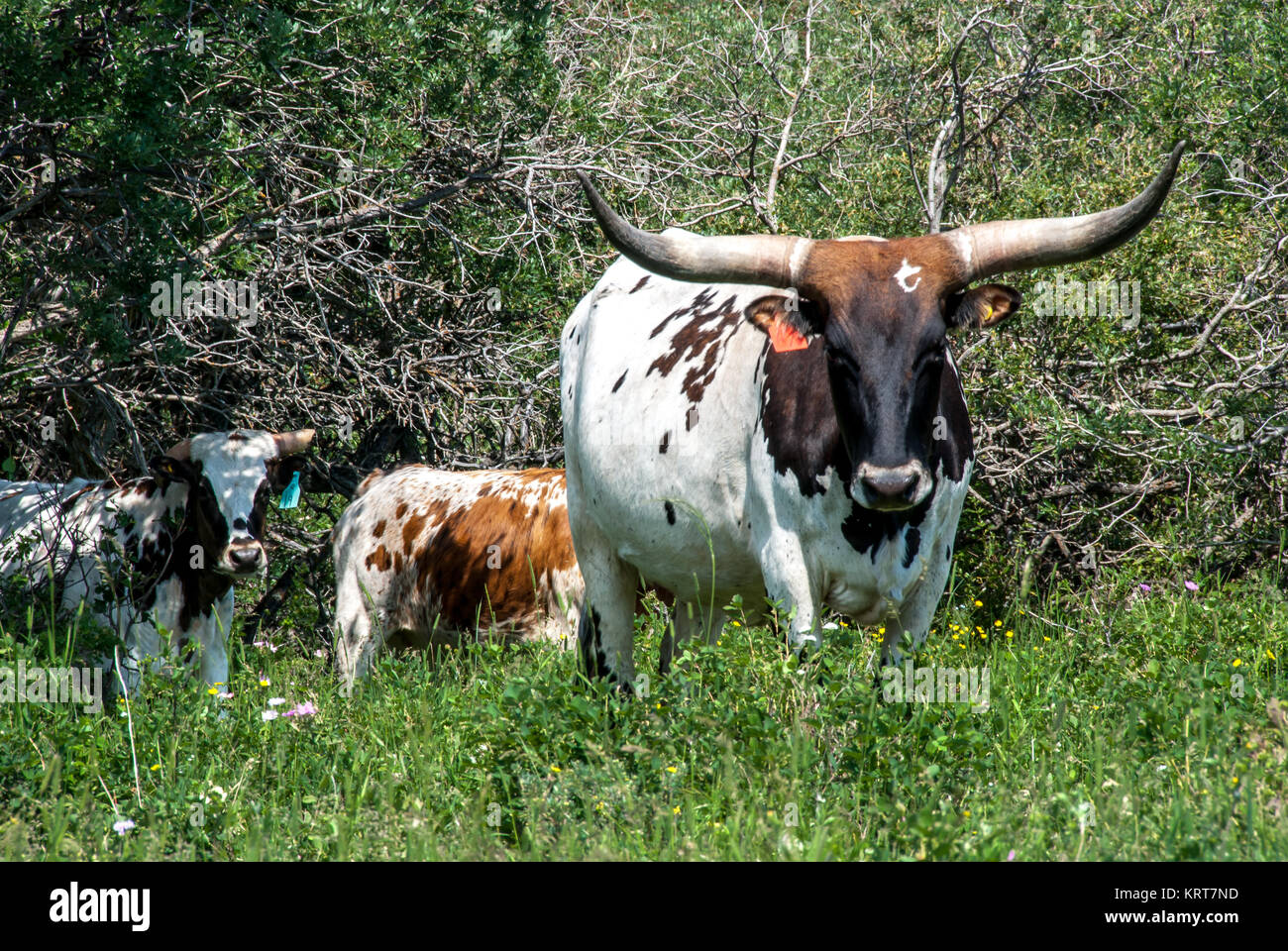 Long Horn T Cow - Stock Image